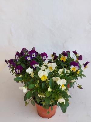 Planta de exterior - Viola Cronuta (2und)