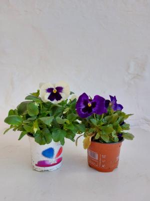 Planta de exterior - Viola Wirrockiana pensamiento (2und)